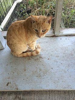 Domestic Shorthair Cat for adoption in Thibodaux, Louisiana - Georgia FE2-9425