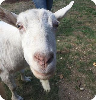 Goat for adoption in Maple Valley, Washington - Willow