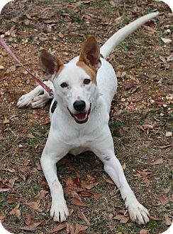 Greyhound/Ibizan Hound Mix Puppy for adoption in Attalla, Alabama - Maddy