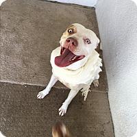 Adopt A Pet :: Minny, I give kisses - Sacramento, CA