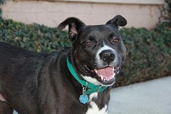 Labrador Retriever Mix Dog for adoption in Fremont, California - Zoey (CP)