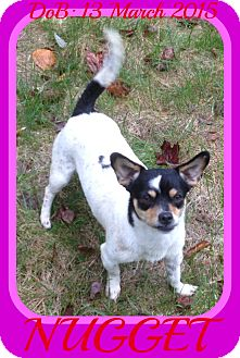 Rat Terrier/Chihuahua Mix Dog for adoption in Manchester, New Hampshire - NUGGET