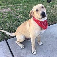 Labrador Retriever Mix Dog for adoption in Austin, Texas - Moose