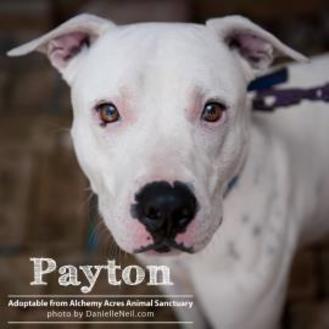 Dalmatian/American Bulldog Mix Dog for adoption in Salem, Ohio - Peyton