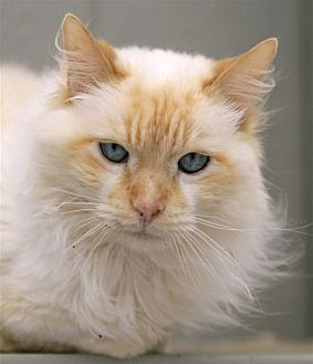 Domestic Longhair Cat for adoption in Atascadero, California - Blue