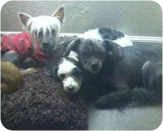Chinese Crested Dog for adoption in SCOTTSDALE, Arizona - JUNE BUG