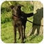 Photo 1 - Labrador Retriever/Shepherd (Unknown Type) Mix Dog for adoption in Austin, Minnesota - Chelsey