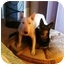Photo 1 - Bull Terrier Dog for adoption in Houston, Texas - Max