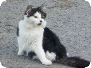 Maine Coon Cat for adoption in Franklin, West Virginia - Truffles