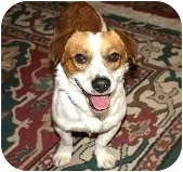 Corgi/Beagle Mix Dog for adoption in Bellflower, California - Henry