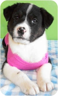 Rottweiler/Border Collie Mix Puppy for adoption in Struthers, Ohio - Dina
