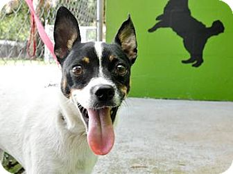 Jack Russell Terrier Mix Dog for adoption in Bradenton, Florida - Gizmo