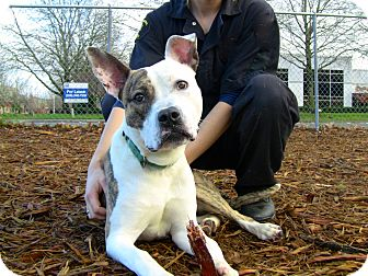 American Pit Bull Terrier/Whippet Mix Dog for adoption in Seattle, Washington - Benny