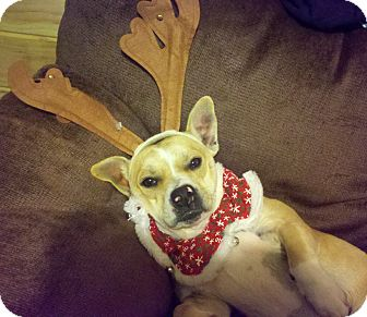 Corgi/Boxer Mix Dog for adoption in Hagerstown, Maryland - Maria