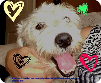 Schnauzer (Miniature)/Poodle (Miniature) Mix Dog for adoption in Hollywood, Florida - Ricky