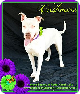 Pit Bull Terrier Mix Dog for adoption in Plano, Texas - Cashmere