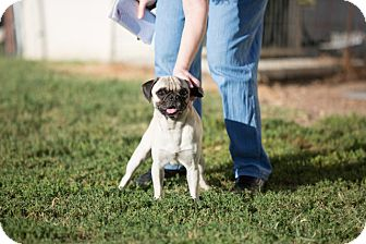 Pug Dog for adoption in Sterling, Kansas - Pete