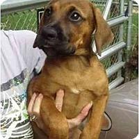 Adopt A Pet :: Boxer Babies - Kingwood, TX