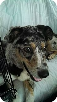 Catahoula Leopard Dog/Cattle Dog Mix Dog for adoption in Sweetwater, Tennessee - Delilah