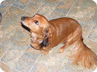 Dachshund Dog for adoption in Liberty Center, Ohio - Carly