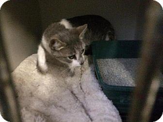 Domestic Shorthair Cat for adoption in Hazel Park, Michigan - Freda