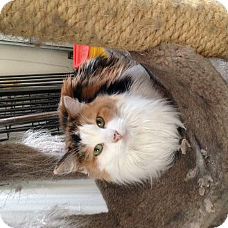 Calico Cat for adoption in Temecula, California - Calle