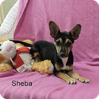 Chihuahua/Dachshund Mix Puppy for adoption in Slidell, Louisiana - Sheba