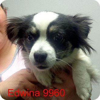 Papillon/Pekingese Mix Dog for adoption in Greencastle, North Carolina - Edwina