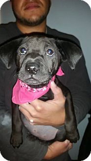 Labrador Retriever/Shar Pei Mix Puppy for adoption in Milton, New York - abbey