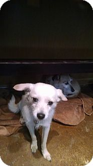 Terrier (Unknown Type, Small)/Italian Greyhound Mix Dog for adoption in Simi Valley, California - Carson