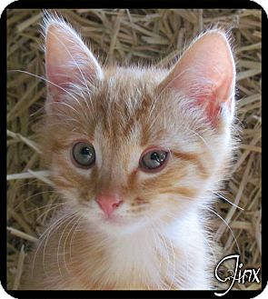 Domestic Shorthair Kitten for adoption in Estancia, New Mexico - Jinx