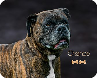 Boxer Dog for adoption in Somerset, Pennsylvania - Chance