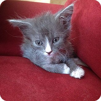 Domestic Longhair Kitten for adoption in Tampa, Florida - Teddy
