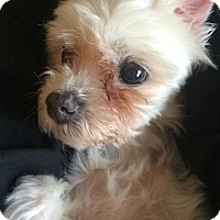 Adopt A Pet :: Angel - North Olmsted, OH
