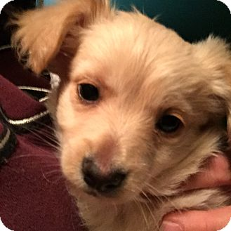 Chihuahua/Shepherd (Unknown Type) Mix Puppy for adoption in Encino, California - Prince Charming - Princess Pup