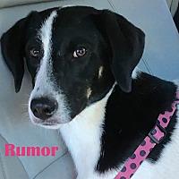 Adopt A Pet :: Rumor - Orangeburg, SC