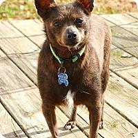 Adopt A Pet :: *Peaches - PENDING - Westport, CT