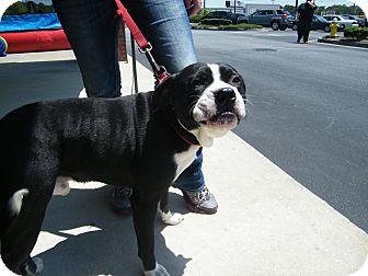 Boxer/American Bulldog Mix Dog for adoption in Macon, Georgia - Lee