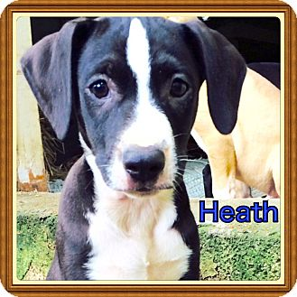 Labrador Retriever/Hound (Unknown Type) Mix Puppy for adoption in Harrisburg, Pennsylvania - Heath