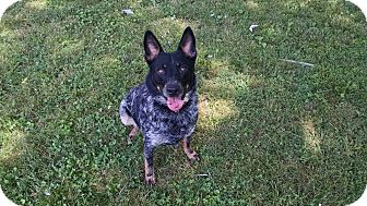 Cattle Dog/Blue Heeler Mix Dog for adoption in Foster, Rhode Island - McGyver