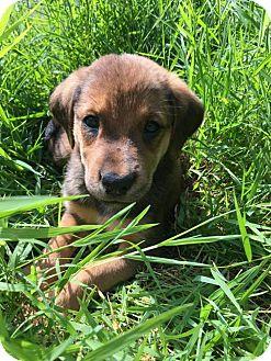 Golden Retriever/Hound (Unknown Type) Mix Puppy for adoption in Woodbridge, Virginia - Piper