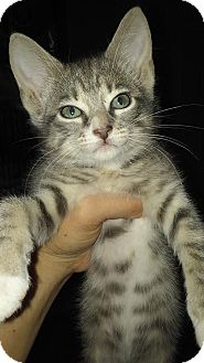 Domestic Shorthair Kitten for adoption in Edgewater, Florida - Mousy