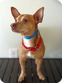 Chihuahua Mix Dog for adoption in Berkeley, California - Larry