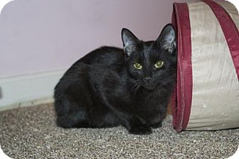 Domestic Shorthair Cat for adoption in Ellicott City, Maryland - .Maitake