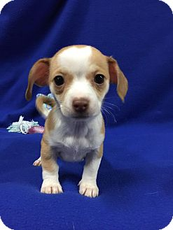 Chihuahua/Dachshund Mix Puppy for adoption in Oxford, Connecticut - Alexi