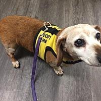Dachshund Dog for adoption in Lancaster, California - Daise