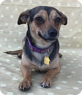 Chihuahua Mix Dog for adoption in Garland, Texas - Duchess