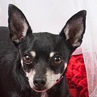 Adopt A Pet :: Chai - Colorado Springs, CO