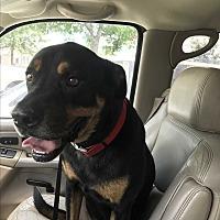 Adopt A Pet :: Antonio - East Hartford, CT