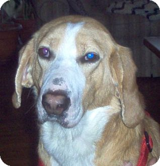 Foxhound/Hound (Unknown Type) Mix Dog for adoption in Ontario, Ontario - Homer-ADOPTED!